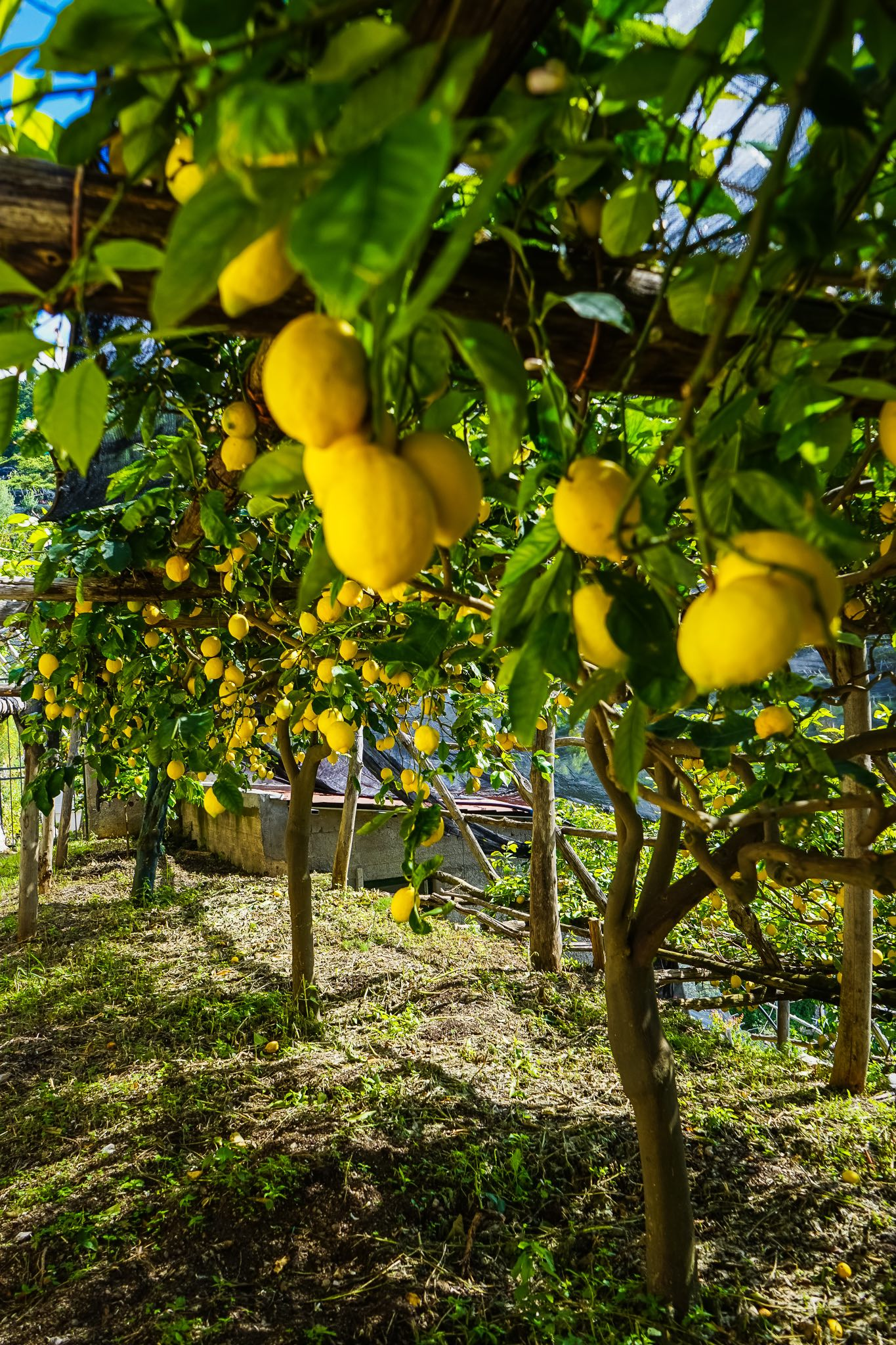 A lemon grove along the path of lemons in Maiori, along the Amalfi Coast