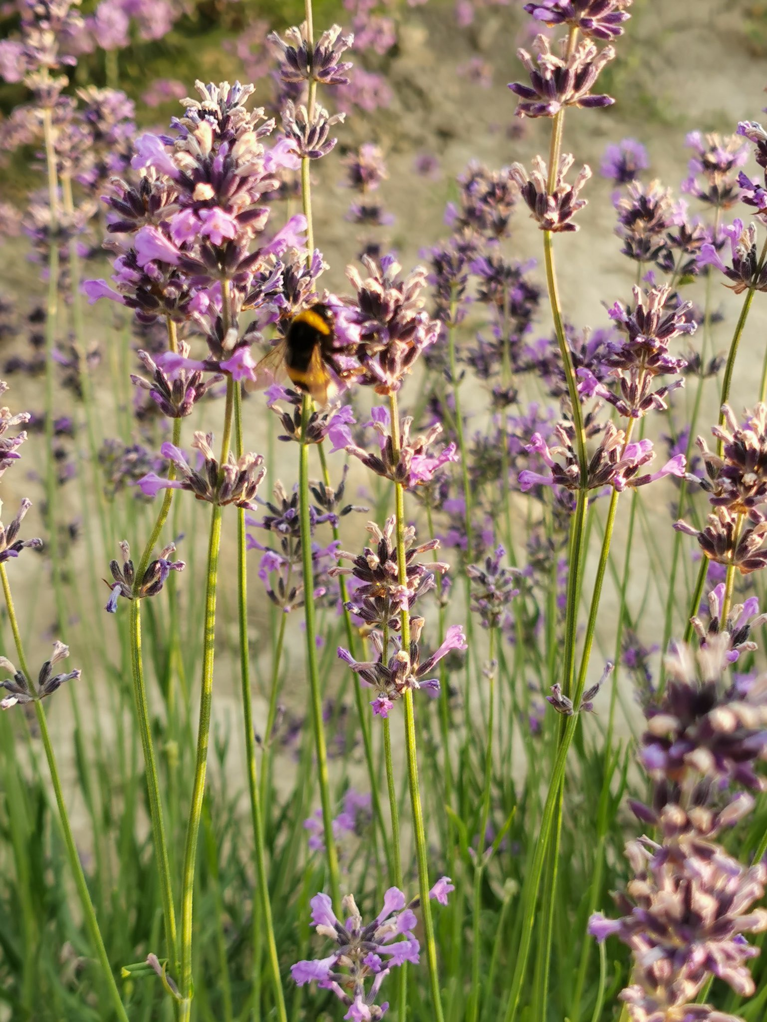 Lavender flowers with bumblebees