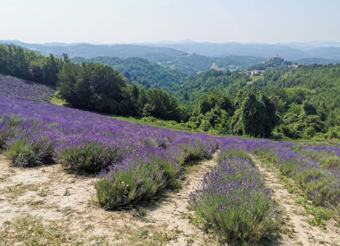 Lavender in Italy: Piedmont's little Provence